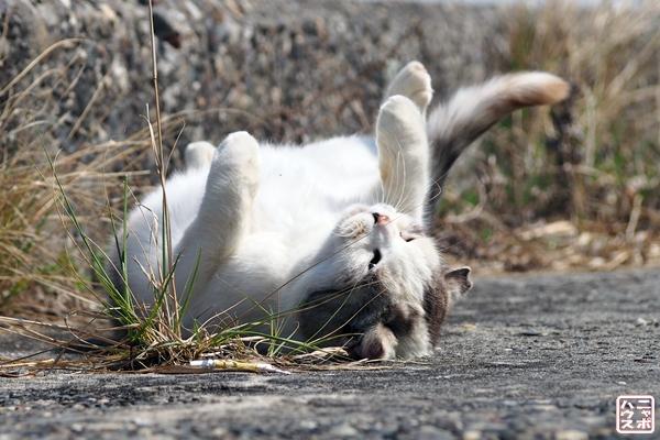 背中スリスリ 腹見せ 猫