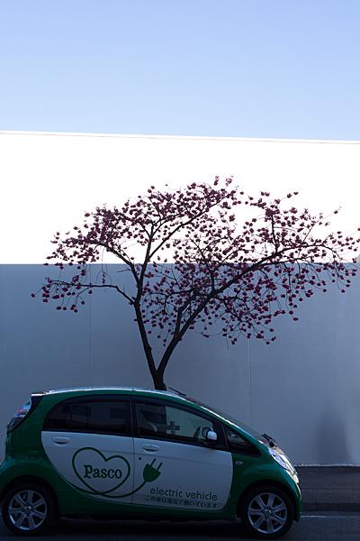 寒緋桜と白い壁