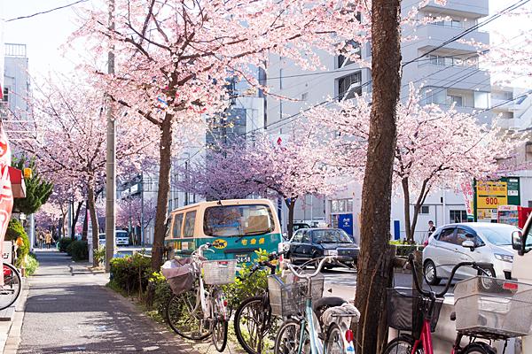 高岳桜並木