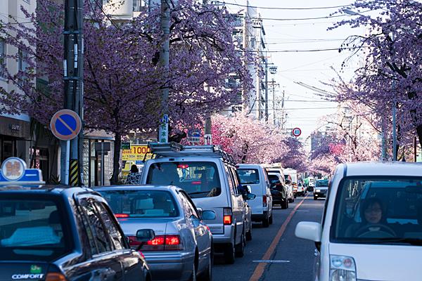 桜並木と車の列