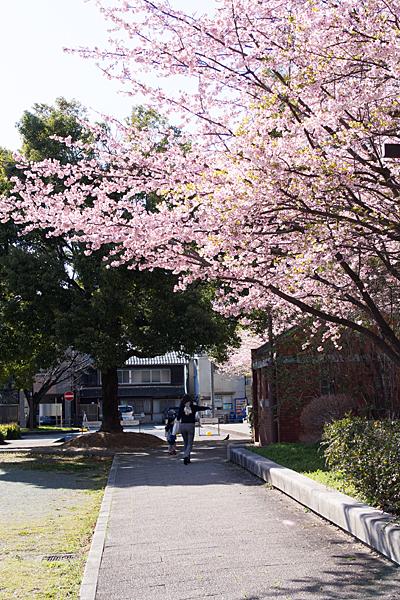 名古屋市市政資料館の桜