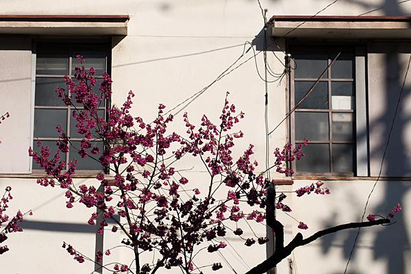 床屋の窓と寒緋桜