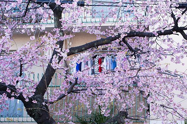 古木桜と洗濯物