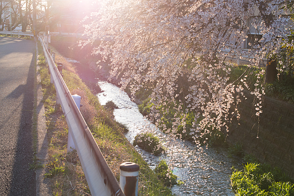 川辺のしだれ桜