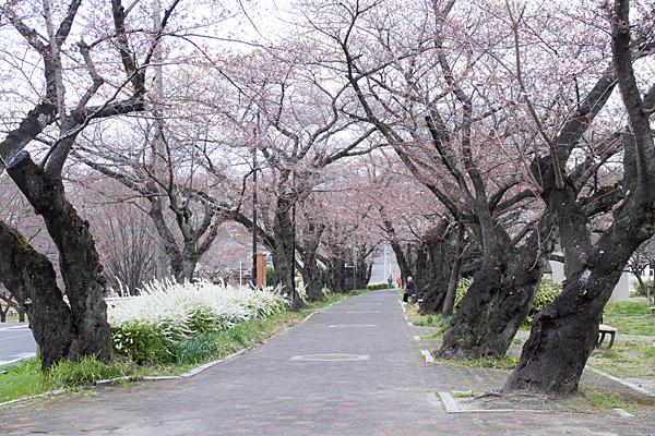 雨池公園桜並木
