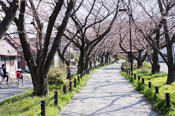 春日井すいどう道桜並木