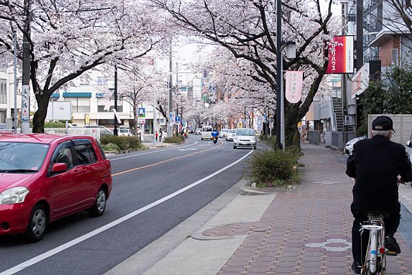 藤が丘方面桜並木