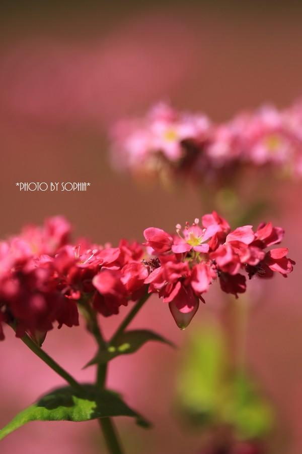 続・赤そばの花Ⅱ