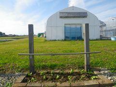 [写真]受付ハウス前の花壇に植え付けたキンセンカの苗