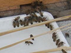 [写真]巣箱の前に置いたトレーの縁に一列に並んで砂糖水をのむミツバチたち