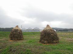 [写真]のぶ子さんの畑に積まれた大豆のボッチ