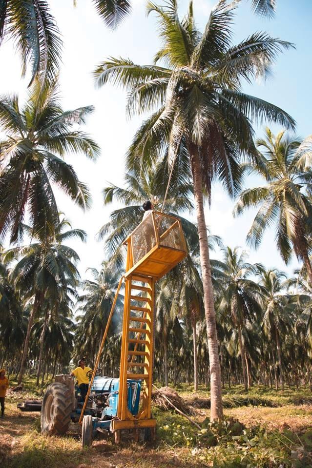 20151104ココナッツ収穫1