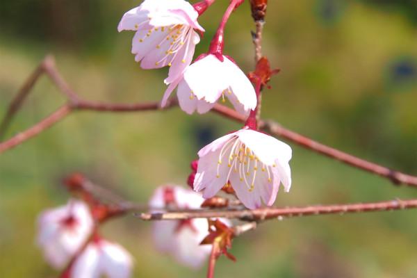 ワカキノサクラ ( 稚木の桜 )