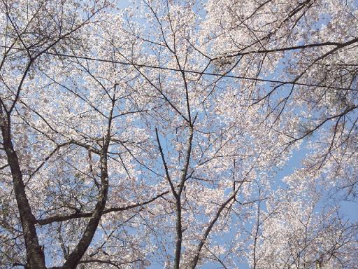 160409_桜