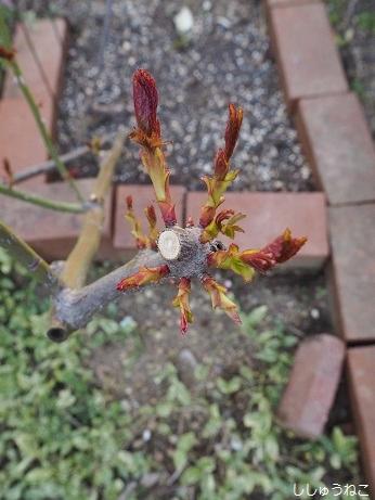 カクテルの芽