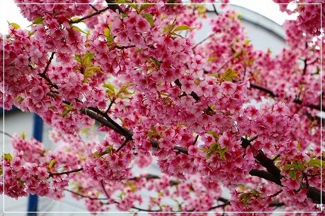 河津桜発見!