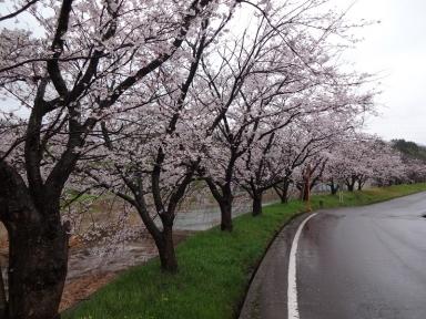 8に、田上本町歴史の桜