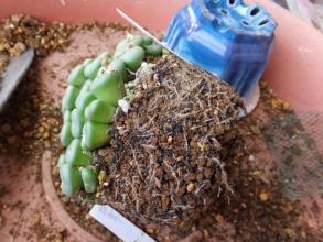 鉢いっぱいになったコノフィツムの植え替え♪根が張っています。2016.03.13