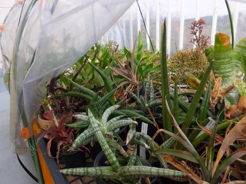 サンスベリア色々~ベラ、パテンス、フィスチェリ、他室内から温室に出しました。2016.03.16