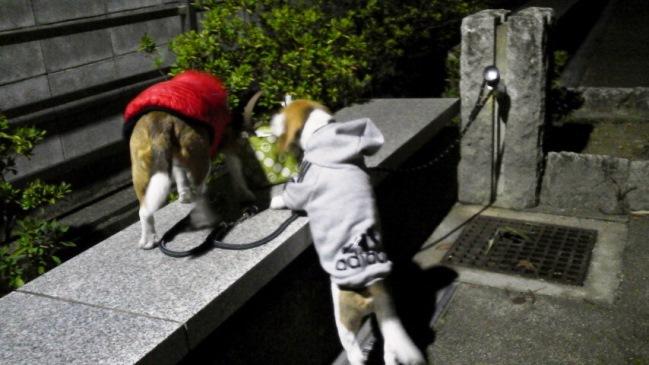 冬の外出着を着て,寒~い早朝散歩に出掛けています。でも,JIROは初めての冬に…?
