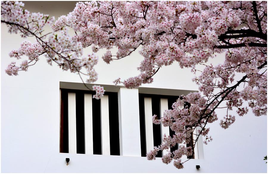 大阪城 桜・助手3