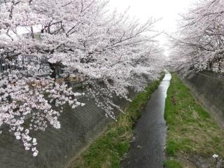 三沢川の桜_02