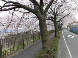 三沢川の桜_03