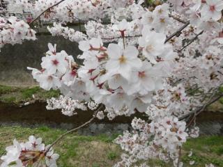 三沢川の桜_04