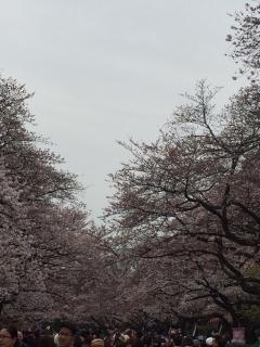 上野公園の桜_002