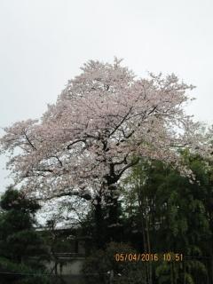 フルーツパークの桜_001