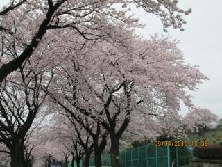 フルーツパークの桜_007